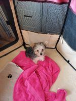 Shih Tzu Puppies for sale in Columbia, MO, USA. price: NA