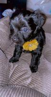 Shih Tzu Puppies for sale in Folcroft, PA 19032, USA. price: NA