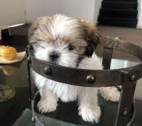 Shih Tzu Puppies for sale in San Angelo, TX, USA. price: NA