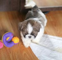 Shih Tzu Puppies for sale in Athens, TX, USA. price: NA