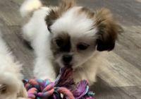 Shih Tzu Puppies for sale in Three Rivers, MI 49093, USA. price: NA