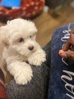 Shih Tzu Puppies for sale in Hartford, CT, USA. price: NA