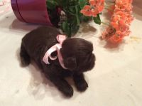 Shih Tzu Puppies for sale in Marble, NC 28905, USA. price: NA