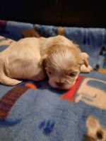Shih Tzu Puppies for sale in Toccoa, GA 30577, USA. price: NA