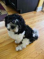 Shih Tzu Puppies for sale in Chicago, IL 60626, USA. price: NA