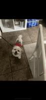 Shih Tzu Puppies for sale in Chicago, IL, USA. price: NA