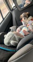 Shih Tzu Puppies for sale in Charlotte, NC 28278, USA. price: NA