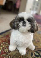 Shih Tzu Puppies for sale in Independence Charter Township, MI 48348, USA. price: NA