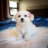 Shih Tzu Puppies for sale in Los Angeles, CA 90036, USA. price: NA
