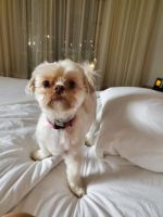 Shih Tzu Puppies for sale in Port St. Lucie, FL, USA. price: NA