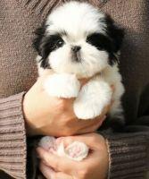 Shih Tzu Puppies for sale in Chino Hills, CA, USA. price: NA