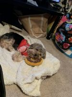 Shih Tzu Puppies for sale in Middleburg Heights, OH, USA. price: NA