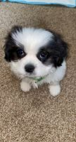 Shih Tzu Puppies for sale in Allendale Charter Twp, MI, USA. price: NA