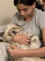 Shih Tzu Puppies for sale in Corona, CA, USA. price: NA