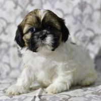 Shih Tzu Puppies for sale in LOS ANGLS AFB, CA 90009, USA. price: NA