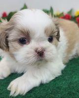 Shih Tzu Puppies for sale in Miami, FL 33126, USA. price: NA