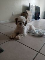 Shih Tzu Puppies for sale in Fort Lauderdale, FL, USA. price: NA