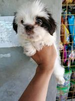 Shih Tzu Puppies for sale in T K C Rd, Texas 77375, USA. price: NA