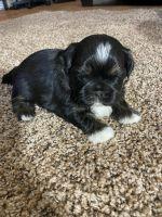 Shih Tzu Puppies for sale in Marshfield, MO 65706, USA. price: NA