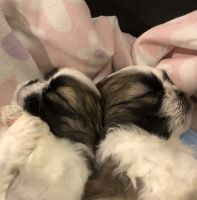 Shih Tzu Puppies for sale in Corvallis, OR, USA. price: NA
