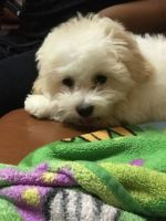 Shih Tzu Puppies for sale in East Flatbush, Brooklyn, NY, USA. price: NA