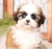 Shih Tzu Puppies for sale in California City, CA, USA. price: NA