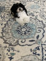 Shih Tzu Puppies for sale in Queens, NY, USA. price: NA