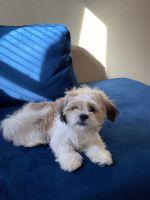 Shih Tzu Puppies for sale in Omaha, NE, USA. price: NA