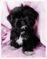 Shih Tzu Puppies for sale in Greensboro, NC, USA. price: NA