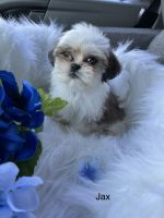 Shih Tzu Puppies for sale in Jersey City, NJ, USA. price: NA