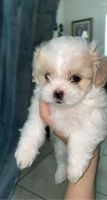 Shih Tzu Puppies for sale in Selma, CA 93662, USA. price: NA