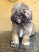 Shih Tzu Puppies for sale in Fort Lauderdale, FL 33351, USA. price: NA