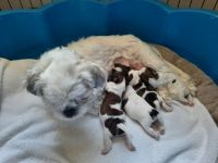 Shih Tzu Puppies for sale in 808 Cleveland Blvd, Caldwell, ID 83605, USA. price: NA