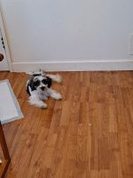 Shih Tzu Puppies for sale in 434 W 15th Pl, Chicago Heights, IL 60411, USA. price: NA
