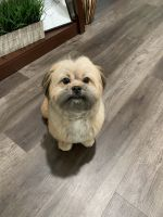 Shih Tzu Puppies for sale in Marlton, Evesham, NJ, USA. price: NA