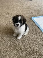 Shih Tzu Puppies for sale in Long Beach, CA, USA. price: NA
