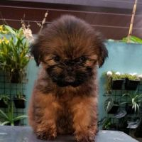 Shih Tzu Puppies for sale in 3507 W 4th St, Coffeyville, KS 67337, USA. price: NA