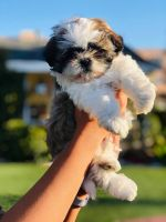 Shih Tzu Puppies for sale in Los Angeles, CA, USA. price: NA