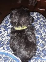 Shih Tzu Puppies for sale in Cliffside, NC, USA. price: NA