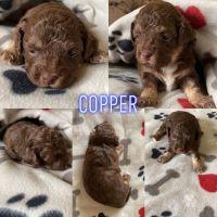Shih Tzu Puppies for sale in Milwaukee, WI, USA. price: NA