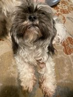 Shih Tzu Puppies for sale in Ocala, FL, USA. price: NA
