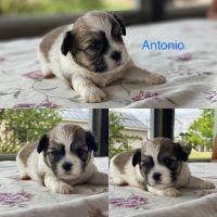Shih Tzu Puppies for sale in Ligonier, IN 46767, USA. price: NA