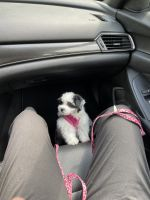 Shih Tzu Puppies for sale in Norwalk, CT, USA. price: NA