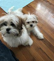 Shih Tzu Puppies for sale in Winston-Salem, NC, USA. price: NA