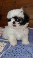 Shih Tzu Puppies for sale in Morganton, NC 28655, USA. price: NA