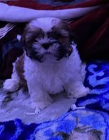 Shih Tzu Puppies for sale in Marshall, MN 56258, USA. price: NA