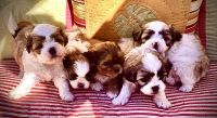 Shih Tzu Puppies for sale in Waterville, WA 98858, USA. price: NA