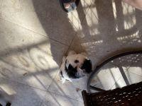 Shih Tzu Puppies for sale in Brea, CA, USA. price: NA