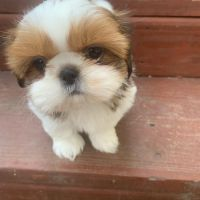 Shih Tzu Puppies for sale in Royse City, TX, USA. price: NA