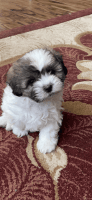 Shih Tzu Puppies for sale in Keller, TX 76244, USA. price: NA